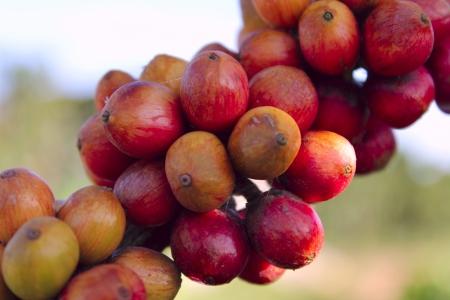 Growing coffee photo