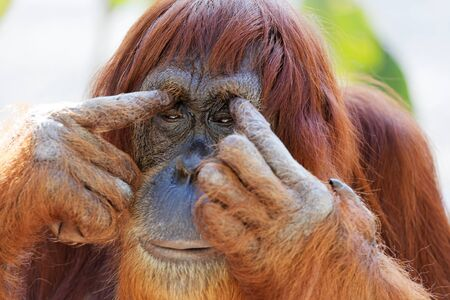 eyelids: Sleepy solitary adult orangutan with long reddish hair and cute funny face touching his eyelids with his fingers, close-up portrait