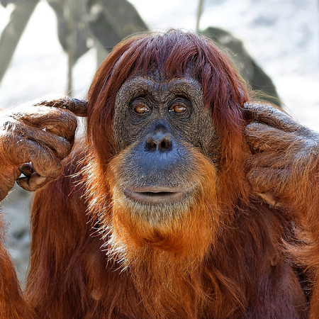 Funny cute solitary orangutan with reddish long hair and beard covering his ears with his fingers in order to stop the noise