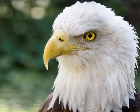 vigilant: Head of a bald eagle, wild North American bird of prey, with white plumage, yellow beak and vigilant eyes, symbol of USA