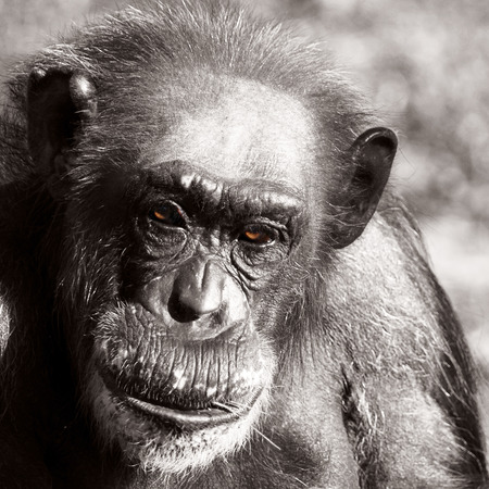 colorized: Close Up Portrait of Balding Chimpanzee Primate, Black and White Monochrome Image with Colorized Brown Eyes