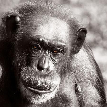 ojos marrones: Close Up Retrato de Balding Chimpanc� Primate, Negro y blanco Monocromo Imagen con Colorized Brown Eyes Foto de archivo
