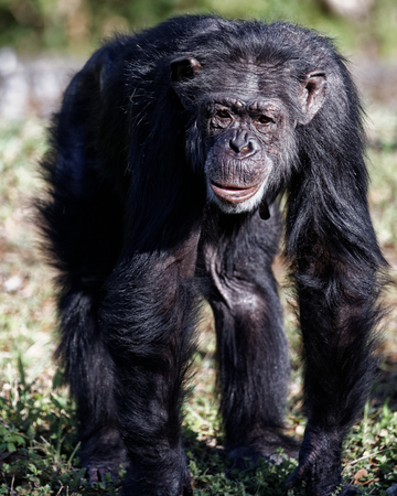 biped: Front View of Chimpanzee Walking on All Fours in Outdoor Environment Stock Photo