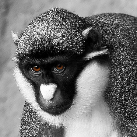 nosed: Close Up Portrait of Lesser Spot Nosed Monkey, Black and White Monochrome Image with Colorized Brown Eyes