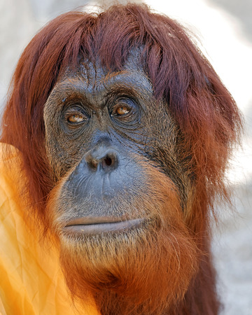 primate: Close Up Portrait of Orangutan Primate Looking Off Camera to the Side Stock Photo