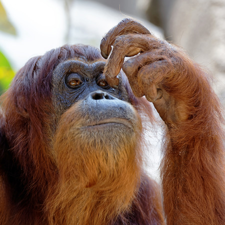 Close up view of an adult orangutan scratching its face with its finger