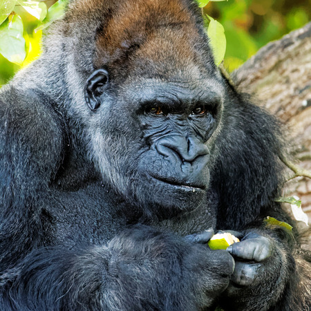 absorbed: Adult gorilla examining a seed or berry it is holding in its hand with an absorbed expression, close up view in captivity