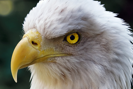american bald eagle: Extreme Close Up of Face of American Bald Eagle with Glowing Yellow Eyes