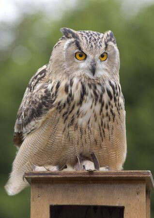 Eagle owl Stock Photo - 765088