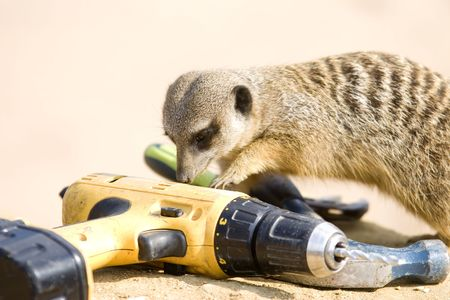 A meerkat finds tools left in enclosure by workman