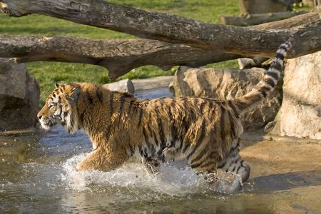 A tiger running in water Stock Photo