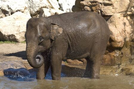 Indian elephant in the water