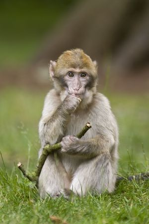 A young macaque monkey posing with a stick