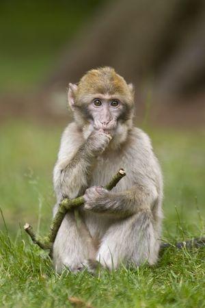 macaque: Un jeune singe macaque pose avec un b�ton
