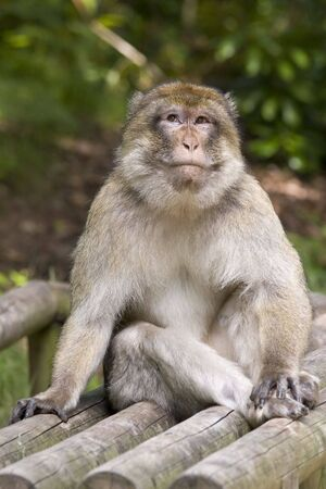 A Macaque monkey sitting on a wooden seat, he looks very cheeky