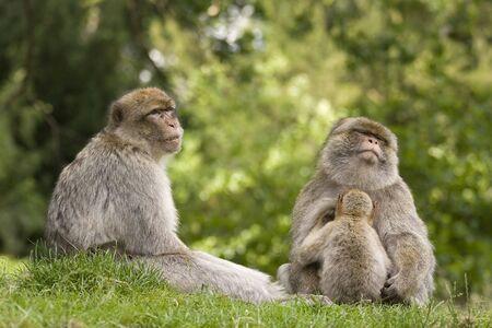 macaque: Une famille groupe de singes macaques