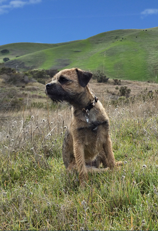 foothills: Border Terrier in California foothills Stock Photo