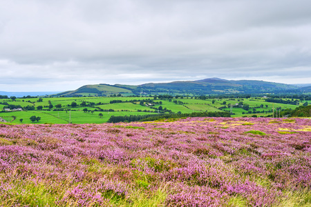 Panorama of Scottish Countryside with Purple Heather