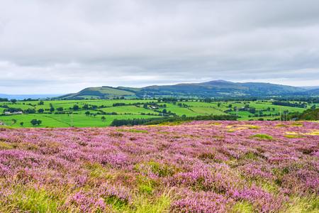 Panorama of Scottish Countryside with Purple Heather Фото со стока - 123672077