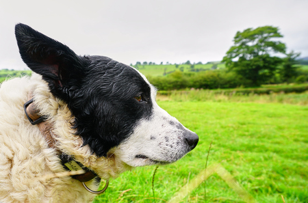 Mature Sheep Dog gazes over the Welsh Countryside - Conway, Wales, U.K. - Aug 2017
