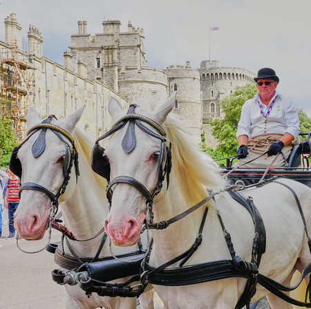 Beautiful pair of White Horses and Carriage Driver - Windsor, England - Aug 2017
