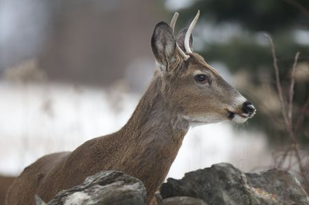 white tail deer: White tail deer Stock Photo