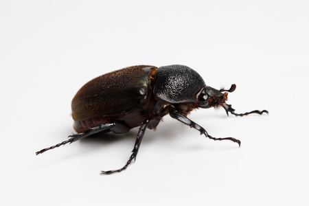 Beetle in White Background photo