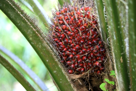 palm oil plantation: Palm oil tree