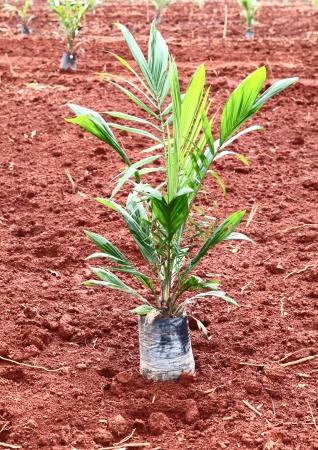 cpo: palm oil plantation