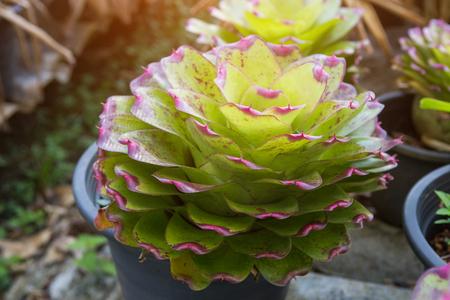 Bromeliad , Aechmea fasciata , Urn Plant, BROMELIACEAE.