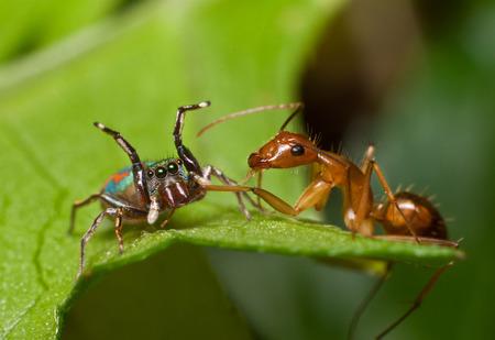 devour: Spiders devour ants Stock Photo