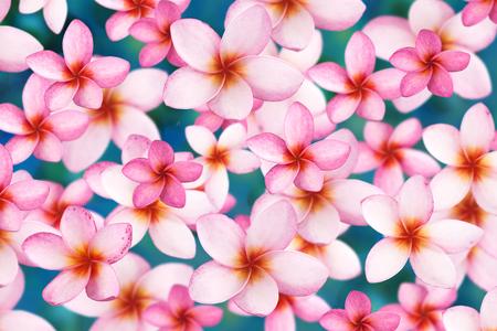 Tropical flowers frangipani (plumeria) isolated on white photo