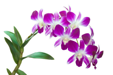 Orchids on white background photo