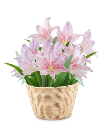 Hippeastrum in Bamboo pot on white background photo