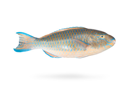 parrotfish: Parrot fish isolated on background