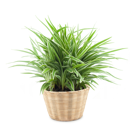 tropical shrub: Spider plant in a bamboo pot