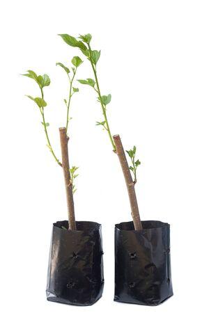 Nursery bag of mulberry cuttings