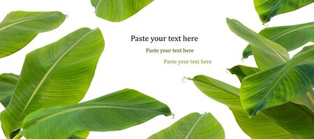 green banana leaf  border on white background Stock Photo