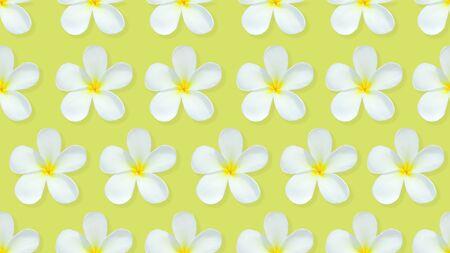 Pattern from beautiful white flowers frangipani plumeria alba on blue background. Stock Photo