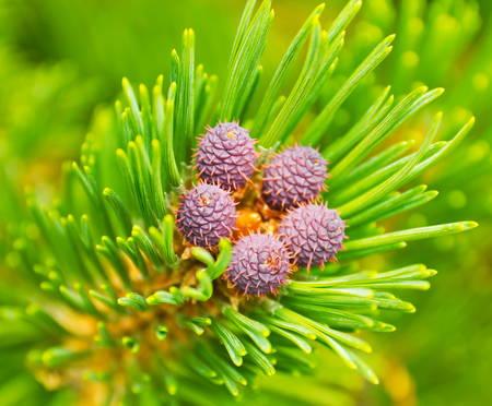 Pine cones photo