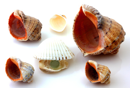 Shells with pearl and Rapana isolated on white photo