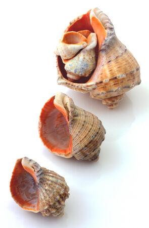 sea slug: Rapanas isolated on white