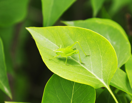Grasshopper on a green leaf photo