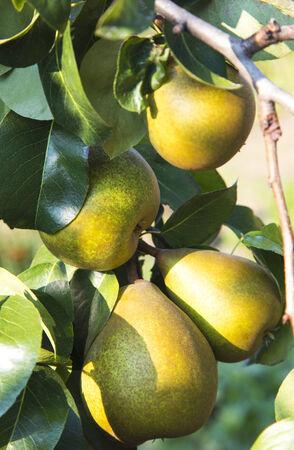 Fresh pears on the tree Stock Photo