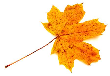 Colorful autumn leaf isolated