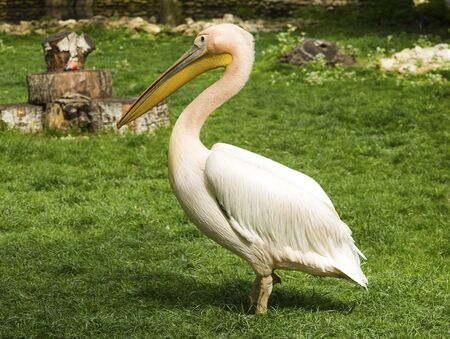 onocrotalus: Pelican in zoo Stock Photo