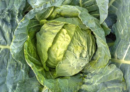 green cabbage: Fresh green cabbage closeup Stock Photo