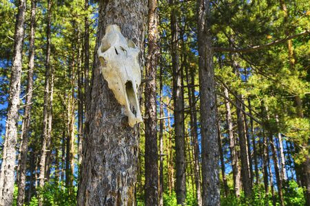 cow skull: Cow skull on tree in the forest