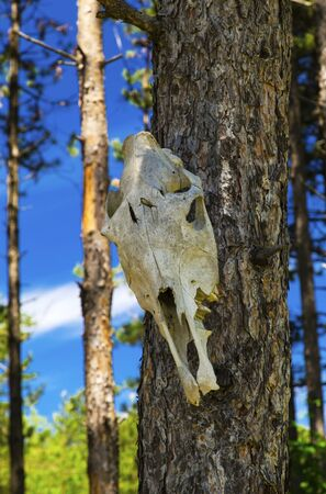 craneo de vaca: Cow skull on tree in the forest