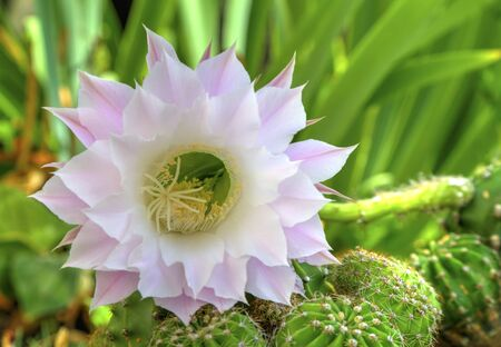 Beautiful cactus flower Selenicereus grandiflorus